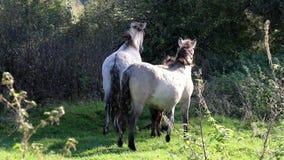 Watchful Konik horses, Bisonbaai, Netherlands stock video
