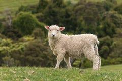 Watchful lamb Stock Photo