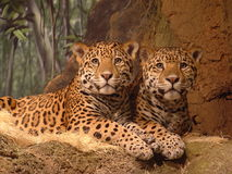 Watchful Leopards Stock Image