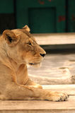 watchful lion Royaltyfria Bilder
