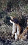 watchful lioness Royaltyfria Foton