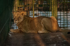 Watchful Lioness Royalty Free Stock Photo