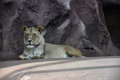 A watchful lioness Stock Image