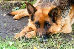 Watchful look of dog Royalty Free Stock Photos