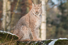 Watchful lynx Stock Photo