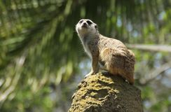 The Watchful Meerkat Stock Photos