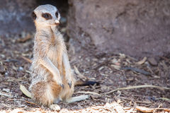 Watchful Meerkat Stock Image