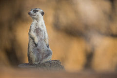 Watchful meerkat on guard Stock Image