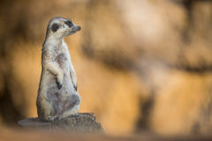 Watchful meerkat on guard Stock Photo