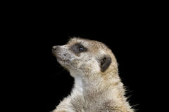 Watchful Meerkat Stock Photography