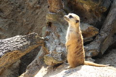 Watchful Meerkat stock photos