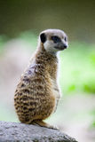 Watchful meerkat Royalty Free Stock Images
