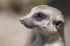Watchful meerkat Stock Images