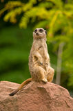Watchful meerkat standing in alert Stock Images