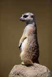 Watchful meerkat standing guard Royalty Free Stock Images