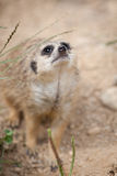 Watchful meerkat standing guard Stock Image