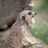 Watchful meerkat standing guard Royalty Free Stock Image
