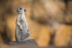 Watchful meerkat standing guard Stock Image