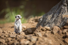 Watchful meerkat standing guard Stock Photo