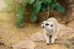 Watchful meerkat standing guard.Thailand. Royalty Free Stock Image