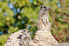 Watchful Meerkats Royalty Free Stock Image