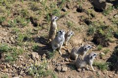 Watchful meerkats family standing guard Stock Photography