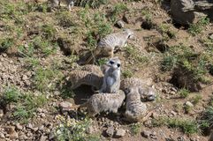 Watchful meerkats family standing guard Stock Image