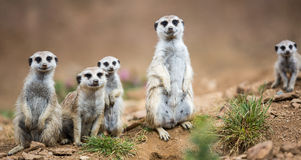 Watchful meerkats standing guard Stock Photos