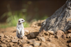 Watchful meerkats standing guard Royalty Free Stock Photography