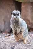 A watchful meerkats Royalty Free Stock Photo