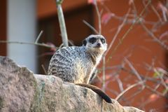 A watchful meerkats Royalty Free Stock Photos