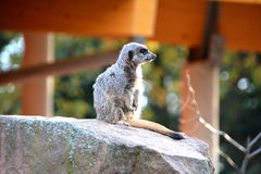 A watchful meerkats Stock Photography