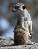 Watchful meerkatstandingguard Arkivbild
