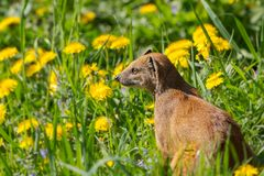 Watchful mongoose ln a green filed with yellow flowers royalty free stock photo