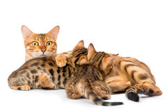 Watchful mother cat feeding her kittens Royalty Free Stock Photos