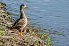 Watchful mother duck Royalty Free Stock Photography