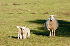 Watchful Mother Ewe with Pair of Lambs Royalty Free Stock Photos