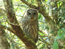A watchful  Northwest Barred Owl hunting Royalty Free Stock Photography
