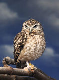 Watchful Owl. A Rufous-Banded owl perched on a branch Stock Images