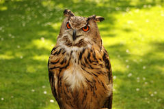 Watchful owl Royalty Free Stock Image