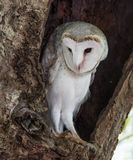 Watchful Owl Royalty Free Stock Photos