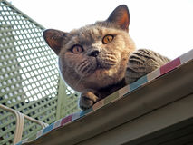 Watchful pedigree cat Royalty Free Stock Photos