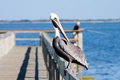 Watchful Pelican. Florida Brown Pelican perched on popular fishing dock enjoying the sunny day Royalty Free Stock Images