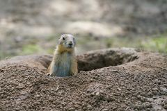 Watchful prairie dog Royalty Free Stock Photography