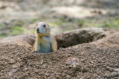 Watchful prairie dog Stock Images