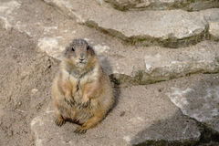Watchful prairie dog Stock Image