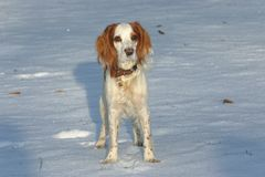 The watchful red and white puppy of spaniel Royalty Free Stock Photo