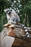 Watchful Ring-tailed lemur sitting on the tree trunk Stock Photo