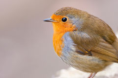 Watchful Robin Close up with Copy Space Stock Images
