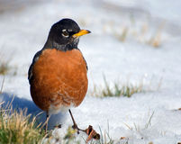 Watchful robin on snow. Watchful robin on cold snow ready to fly up at the least danger Stock Photos